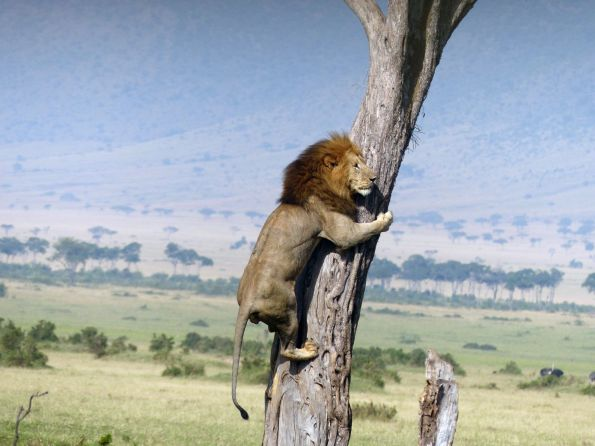 Lion-Kenya